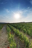 image of gladiola  - Sword flowers field with early dusk in the summer in Germany - JPG