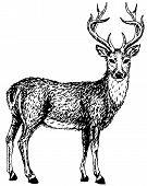 stock photo of deer head  - Artistic sketch of young wild deer - JPG