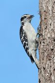 picture of woodpecker  - Downy Woodpecker  - JPG
