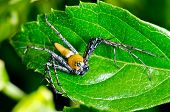 Yellow Lynx Spider  ( Oxyopes Quadrifasciatus )