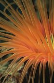 Orange tube anemone, close-up