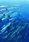 stock photo of barracuda  - School of blackfin barracuda fish - JPG