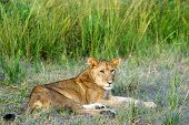 Young Male Lion Lying Down