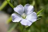 pic of flax plant  - The Perennial flax, and perennial flax (Linum perenne) is a very rare species in Central Europe in the genus