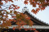 Japan, Kyoto, Tenju-an Temple roof with Japanese maple tree in foreground, Autumn