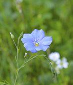 Flax flawer, Linum usitatissimum,