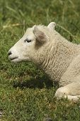 Lamb resting in a field