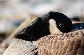 Close-up Of Canada Goose Warming Head In Feathers.