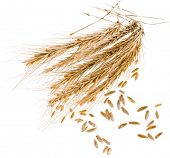 Spikelets and Young Grains of Wheat ears close up isolated on a White Background