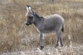 pic of wild donkey  - baby donkey in autumn steppe in southern Ukraine - JPG