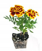 Orange Pot Marigold