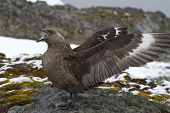 South Polar Skua Near The Nest During The Breeding Season