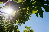 Sun Shining Through The Leaves Of A Fig Tree