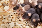 Group of Mouses