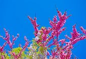 pic of judas  - pink judas tree flowers under a blue sky - JPG