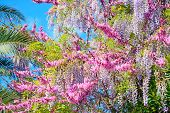 stock photo of judas  - pink Judas tree and lilac wisteria flowers on a sunny day - JPG