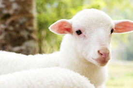 stock photo of baby sheep  - Portrait of a baby sheep in the farm background - JPG
