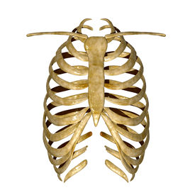 picture of sternum  - The rib cage is an arrangement of bones in the thorax of vertebrates except the lamprey - JPG
