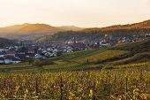 Vineyards in Pfalz at sunset, Germany