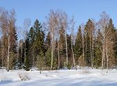 Bare Trees In Sunny Winter Forest