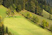 Herd of cows in Dolomites, European Alps, Italy
