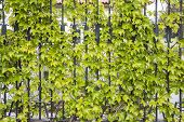picture of creeper  - green leaves of creepers in a metallic fence - JPG