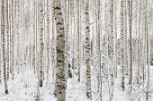 Close-up Of A Birch Wood In Winter In Finland