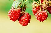 Raspberry. Raspberries. Growing Organic Berries