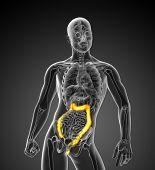 3D Medical Illustration Of The Large Intestine