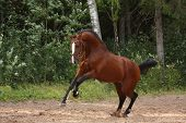 Beautiful Bay Horse Galloping At The Field Near The Forest