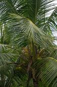 Постер, плакат: King Coconut Tree