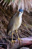 Beautiful Black-crowned Night Heron (nycticorax Nycticorax)