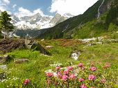 Alpine roses in high mountain