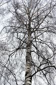 Bare Birch Branches Covered With Hoarfrost