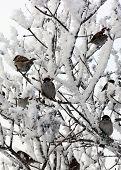 Flock of Sparrows in winter