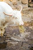 picture of yaks  - White  yak  portrait close up in Belgrade zoo - JPG