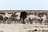 African Elephant Drinking Together With Zebras And Antelope At A Muddy Waterhole