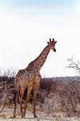 Giraffa Camelopardalis Near Waterhole