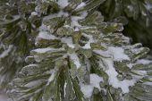 Ice On Pine Tree