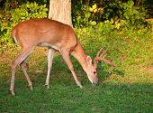 Hungry Buck