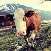 Curious Cow On Alps Farm