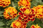 stock photo of marigold  - Ornamental marigolds - JPG