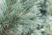 foto of pine-needle  - Green pine tree with needles and raindrops on cold rainy day  - JPG