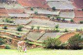 stock photo of donkey  - Grazing donkey with farm terraces in the background in Tarma Peru  - JPG