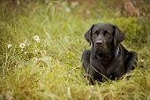 stock photo of seeing eye dog  - Beautiful black Labrador Retriever lying in the grass - JPG