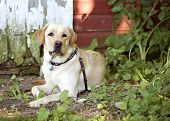 picture of seeing eye dog  - Beautiful Yellow Labrador Retriever lying down in front of an old barn - JPG