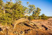 picture of juniper-tree  - An ancient gnarled juniper tree near Navajo Monument park utah - JPG