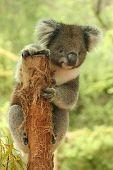 image of koalas  - Koala on a tree in wood lands of eastern Victoria - JPG