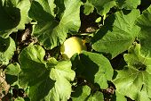 picture of fetus  - pumpkin growing fetus among the leaves in the garden - JPG