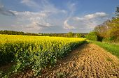 pic of rape-seed  - Rape field above the village on May Day - JPG